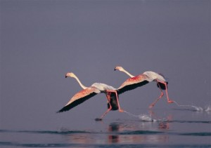 طيور النحام (Phinicopterus roseus) في دلتا Gediz بتركيا