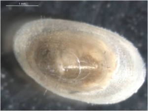 Specie Ferissia clessiniana (Family Planorbidae) found in CW Tancat de L'Illa.