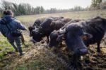 Présence de bufles dans les marais de Sacy-le-Grand (60)