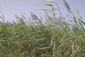 Common reed (Phragmite australis)