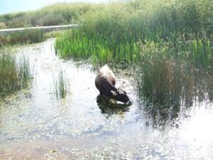 A buffalo on the shores of the small Prespa Lake. Photo credit: L. Mordechai