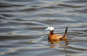 White Headed Duck Morocco, Imad Cherkaoui