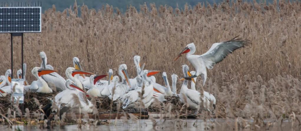 dalmatian pelican NHMM
