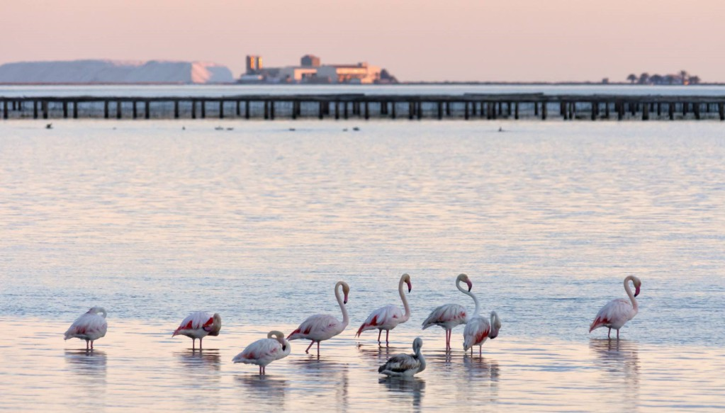 Flamingos in Delta de l'Ebre, Catalonia, Spain. Photo Credit: Marcelo Quaglia (Agefotostock).