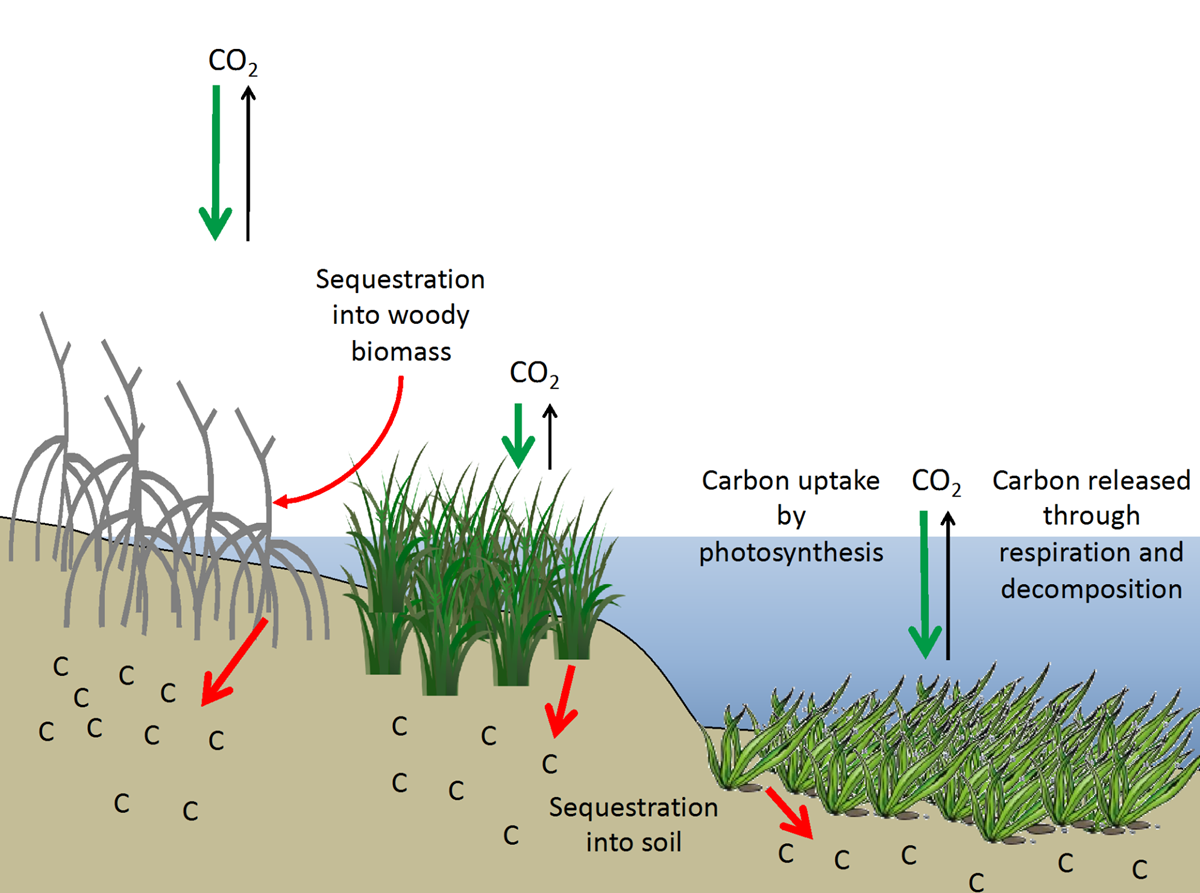 coastal wetland diagram  the role of wetlands in climate change adaptation is under ...
